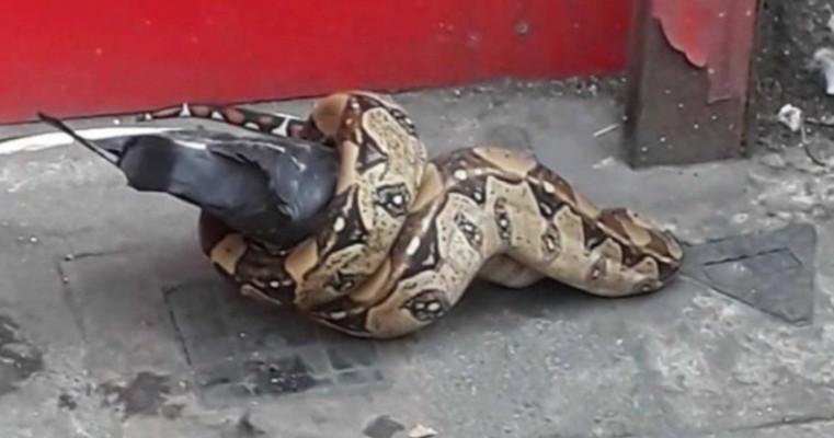 Jiboia ataca pombo no meio da rua em Londres