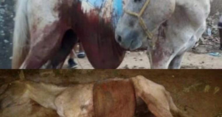 Égua é esfaqueada, fica com as vísceras de fora e morre três horas depois