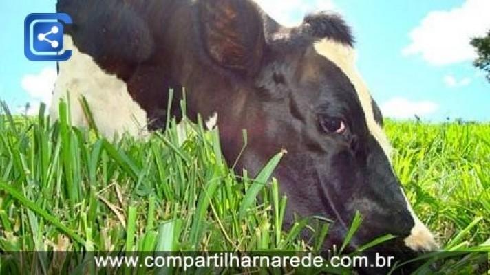 Por que a vaca engorda se ela come mato?