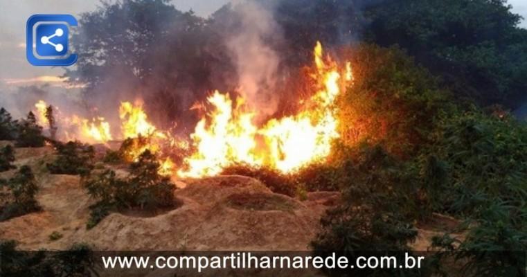 Polícia erradica mais de 15 mil pés de maconha na Ilha de Assunção em Cabrobó