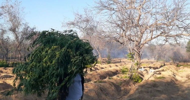 Polícias erradicam 7.830 pés de maconha no projeto Fulgêncio Santa Maria da boa vista-PE