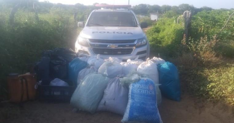 Orocó: policias da 2°CIPM NIS-3 e malhas da lei apreendem 147 kg de maconha na zona rural