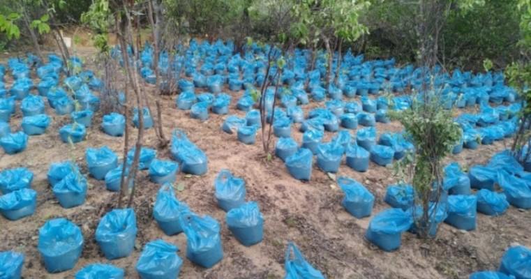 Operação conjunta entre BEPI e PF erradica quase 22 mil pés de maconha na zona rural de Cabrobó