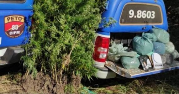 Polícia localiza plantação de maconha no Sertão da Bahia