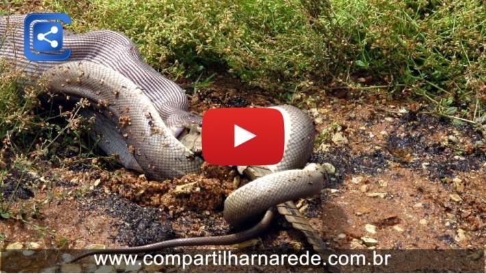 Cobra gigante come crocodilo depois de uma luta muito tempo na Austrália