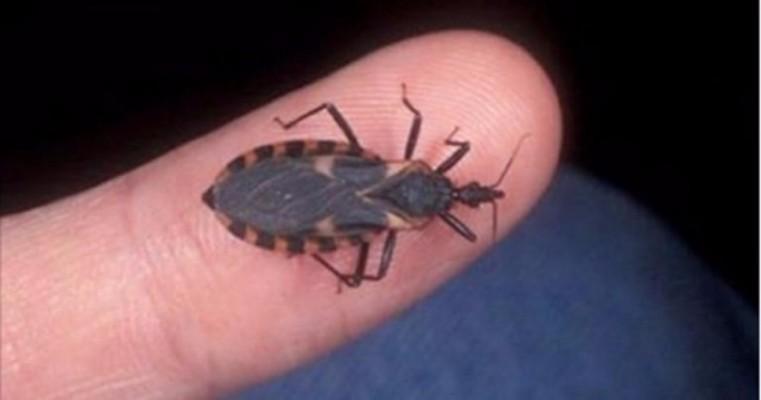 Alerta total! Este inseto não é mais o principal transmissor do mal de Chagas