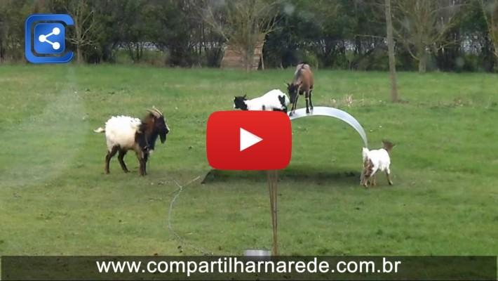 Cabras que equilibram em uma fita de aço flexível - MUITO ENGRAÇADO