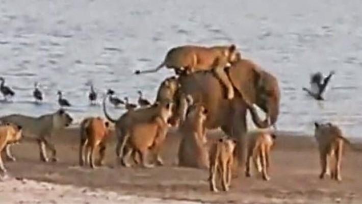 A inteligência de um jovem elefante o faz sobreviver ao ataque de 14 leões. Veja como!