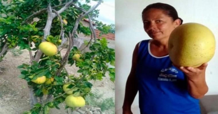 'Laranja gigante' é colhida no interior da Bahia e intriga moradores